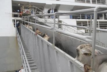 Exportación de ganado en pie, Jordania, Irak, ganado procedente de Bolívar,  Expoganados, CONtexto ganadero, noticias de ganadería colombiana.