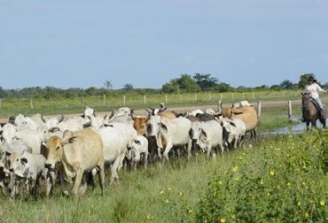 Ganaderos de Casanare cambiarían de negocio, carneo, cachilapeo, abigeato, viajes completos, perdida de ganado, revisión de guías, Contexto ganadero, noticias de ganadería colombiana.