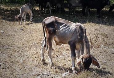 En Sucre solicitan ayuda al gobierno, inclemencia de El Niño, trashumancia, sequía, extremo verano, pérdida de masa corporal, pérdida de peso rápida, insumos alimenticios, bodegas de alimentos, descarte de animales, muerte de animales, CONtexto ganadero, noticias de ganadería colombiana.