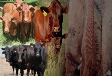 Producción de bovinos hasta los 350 kilos, sacrificio joven, carne de gran terneza, carne apetecida, carne de gran valor, razas de alta genética, Beefmaster, Bonsmara y cruces, Brahman, cruces de Wayuu y Angus,  casos de líneas puras de Brahman, ciclo corto de sacrificio, rotación de inventario, flujo de caja, CONtexto ganadero, noticias de ganadería colombiana.