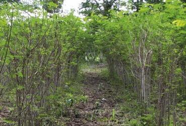 Asogansucre, ganaderos del municipio de Sucre, sur del Cauca, ganaderos implantan sistemas silvopastoriles, siembra de árboles nativos, docel de árboles, corredores de protección, protegen cauce del rio Mazamorras, CONtexto ganadero, noticias de ganadería colombiana.