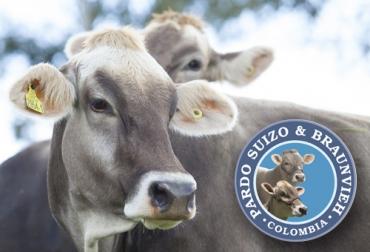 Asopardo en Agroexpo, Agroexpo 2019, pardo suizo, Braunvieh, actividades de Asopardo, Muestra y Exhibición, juzgamiento de ganado