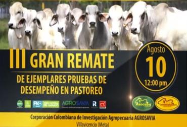 remate de ganado, remate de Asocebú, remate en Villavicencio, Asocebú, pruebas de desempeño en pastoreo