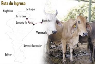 Contrabando de ganado, contrabando de ganado desde venezuela, Extinción de dominio a ganadero, Luis Eduardo Zárate