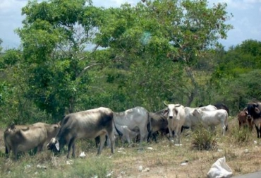 Abigeato en Sucre, robo de ganado en Sucre, inseguridad en Sucre, ganaderos de Sucre