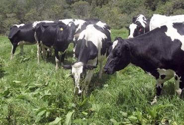 modelo producción de leche Nueva Zelanda, sistema neozelandés en Nariño, Agrosavia Nariño, ganaderos de Nariño, productores de leche de Nariño