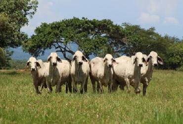 El día del cebú, día del cebú en Montería, Subastar, evento de Subastar, comercialización de ganado, ganado cebú
