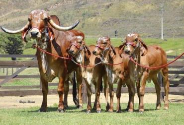 Clonación, clonación ganadera, aplicaciones de la clonación en la ganadería, clonación en bovinos ventajas y desventajas, Nuevas biotecnologías reproductivas en Colombia, biotecnologías reproductivas ganado bovino Colombia, Julio Olaya, Embriogenex, clonación, transgénicos, coronavirus, coronavirus Colombia, COVID-19, cuarentena, Ganadería, ganadería colombia, noticias ganaderas, noticias ganaderas colombia, CONtexto ganadero