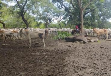 Ganadería, ganadería colombia, noticias ganaderas, noticias ganaderas colombia, CONtexto ganadero, Abigeato, abigeato Arauca, aumento de abigeato en arauca, aumento de carneo en Arauca, falta de autoridades Arauca, mayor control de abigeato en Arauca