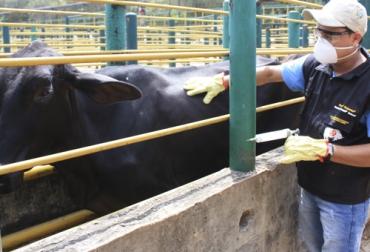 ciclo de vacunacion fiebre aftosa 2020, ciclo de vacunacion aftosa 2020, ciclo de vacunacion ica 2020, fedegan ciclo de vacunacion 2020, ruv de vacunación, primer ciclo de vacunacion aftosa 2020, segundo ciclo de vacunacion aftosa 2020, segundo ciclo vacunación aftosa, ganado bovino, ganadería bovina, Ganadería, ganadería colombia, noticias ganaderas, noticias ganaderas colombia, CONtexto ganadero, contextoganadero