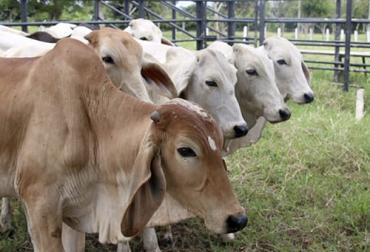 Ganadería, ganadería colombia, noticias ganaderas, noticias ganaderas colombia, CONtexto ganadero, Abigeato, carneo, Abigeato en Colombia, hurto de animales en Colombia, abigeato en quindio, Inseguridad en Quindío, controles de abigeato