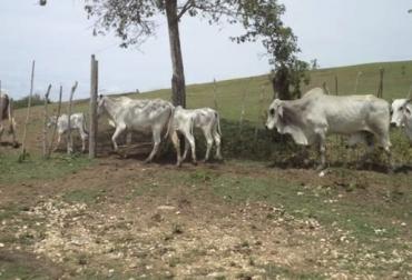 Ganadería, ganadería colombia, noticias ganaderas, noticias ganaderas colombia, CONtexto ganadero, La Mojana, productores de la Mojana, verano en la mojana, Falta de comida bovinos en la Mojana, ayudas alimentaria en la Mojana, precios leche en la Mojana, precio de la carne en La Mojana