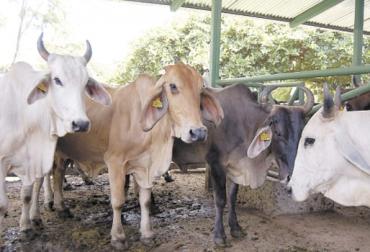 ganadería, ganadería colombia, noticias ganaderas, noticias ganaderas colombia, contexto ganadero, La Guajira, ganaderos la Guajira, dificultades ganaderos La Guajira, contrabando, contrabando en la Guajira, frontera La Guajira
