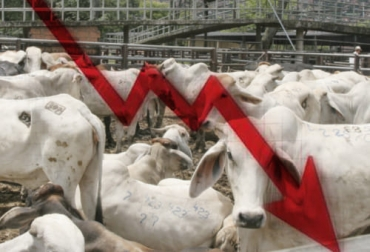 sacrificio 2021, Sacrificio de ganado 2021, sacrificio bovino 2021, sacrificio mayo 2021, sacrificio ganado Colombia mayo 2021, Cifras sacrificio ganado bovino 2021, sacrificio mayo 2021 departamentos, sacrificio Valle mayo 2021, afectación del sacrificio por el paro, sacrificio colombia, sacrificio bovino Colombia, encuesta sacrificio ganado 2021, ganado bovino, ganadería bovina, ganaderos, ganaderos colombia, ganado, vacas, vacas Colombia, bovinos, Ganadería, ganadería colombia, noticias ganaderas, notici