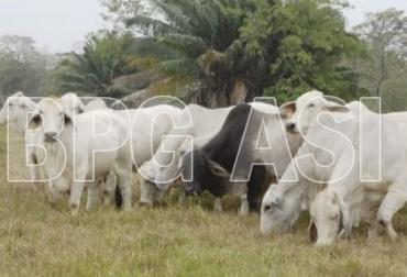 Predios BPG Colombia primer semestre 2021, Ganaderos Colombia certificación BPG, certificación Buenas Prácticas Ganaderas Colombia, BPG Colombia 2021, ICA Colombia BPG 2021, ICA BPG 2021, Autorización Sanitaria y de Inocuidad, Autorización Sanitaria y de Inocuidad ASI, avances Autorización Sanitaria y de Inocuidad, ganado bovino, ganadería bovina, carne, leche, ganaderos, ganaderos colombia, ganado, vacas, vacas Colombia, bovinos, Ganadería, ganadería colombia, noticias ganaderas, noticias ganaderas colombi