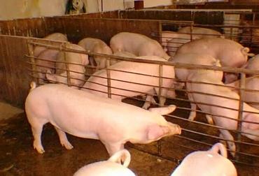 Según Asoporcicultores, este año se consumirán aproximadamente unas 240.000 toneladas de carne de cerdo. Foto: