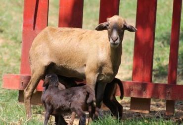 El camuro u 'oveja africana' como lo han bautizado los habitantes de la región