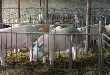 Sacrificio de cerdos