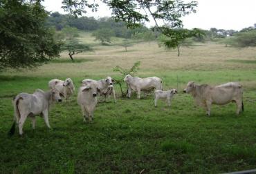 Contrabando de ganado Arauca