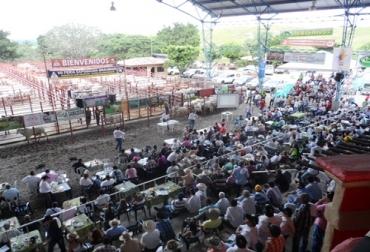Feria ganado Brahman