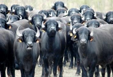 Ganado bufalino en auge en Magdalena Medio.jpg