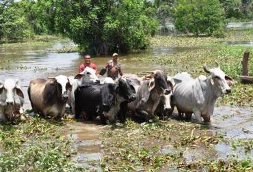 La Mojana epicentro de ganaderos por pastos.jpg