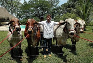 Estos ejemplares provenientes de la India, de una estirpe cebú muy antigua, han encontrado gran acogida en Bolívar.