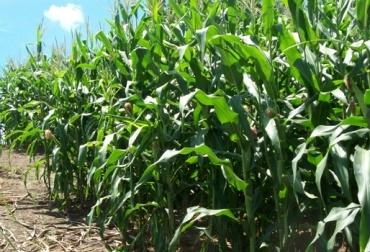 Silo de maíz para ganado