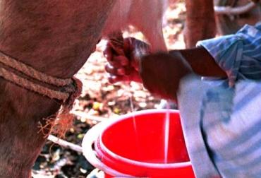 Nestle exaltada por producción lechera en Caquetá