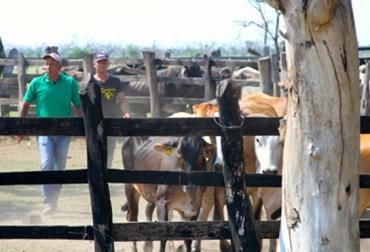 Repoblamiento bovino en Altántico
