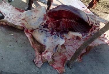 sacrificio  clandestino de bovinos
