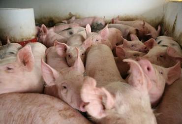 Sacrificio de porcinos
