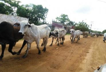 Trashumancia bovina en Sucre