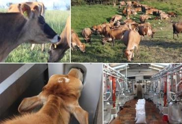 leche de vacas jersey