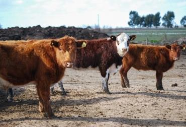 ganadería, ganadería colombia, noticias ganaderas, noticias ganaderas colombia, contexto ganadero, inta, perspectivas ganadería, ganadería argentina, mercado para la ganadería, china, mercado chino,