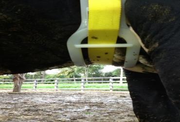 Collar celotor para detectar celo en vacas