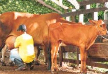 Ordeño de ganado.