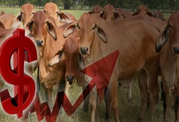 Precios del ganado, desplome, sin señales de reactivación, consecuencia del verano, sanidad animal, brotes de aftosa, Sucre comienza a reactivarse, disminución del consumo, Bolívar sin oferta, CONtexto ganadero, noticias de ganadería colombiana.