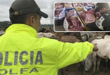 Aprehensión de ganado bovino, decomiso de carne en canal, confiscación de productos perecederos, lucha contra el contrabando, desarticulación de bandas criminales, Institucionalidad unidad contra la ilegalidad, CIIIP, Polfa, Contexto ganadero, noticias de ganadería colombiana.