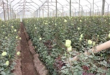 Colombia, ICA, Australia, Exportación de flores a Australia, presencia de insectos vivos en los cargamentos con destino a Australia, CONtexto ganadero, noticias ganaderas, agricultura, exportaciones de flores, economía