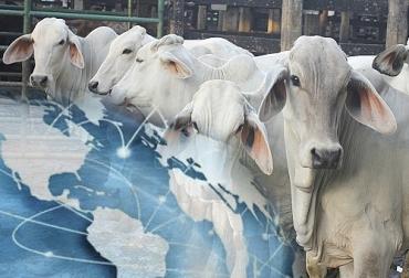 Colombia, exportación de bovinos, Líbano, Miguel Dulcey, Expoganados Internacional, ICA, Fedegan-FNG, recuperación del estatus sanitario, vacunación contra la fiebre aftosa, recuperación de los mercados, Egipto, Ganadería, ganadería colombia, noticias ganaderas, noticias ganaderas colombia, CONtexto ganadero