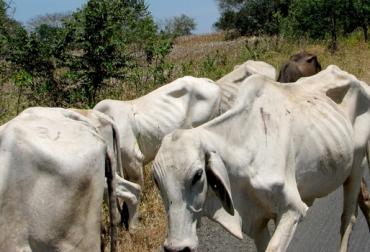 Colombia, Sequía, afectaciones climáticas, $30.000 millones suman las pérdidas en la ganadería bovina, extrema sequía, muerte de más de 34.900 bovinos, desplazamiento de 742.000 animales, afectación 2, 4 millones de hectáreas, departamentos más afectados, CONtexto ganadero, noticias ganaderas de colombia