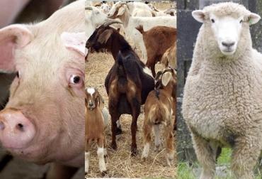 Sacrificio de ganado 2020, sacrificio bovino 2020, sacrificio abril 2020, cifras sacrificio, sacrificio legal de bovinos, sacrificio formal, sacrificio colombia, sacrificio bovino Colombia, encuesta sacrificio ganado 2020, sacrificio porcino, sacrificio caprino, sacrificio ovino, sacrificio, beneficio animal, sacrificio cerdos, sacrificio ovejas, sacrificio cabras, coronavirus Colombia, coronavirus, COVID-19, cuarentena, Ganadería, ganadería colombia, noticias ganaderas, noticias ganaderas colombia, CONtext