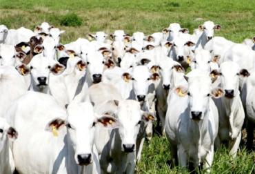 En enero se exportarán 29.000 bovinos al Oriente Medio, puerto de Cartagena, buques cargados de bovinos, Egipto y Líbano, machos enteros, demanda, media ceba, cebú y cruces, bienestar animal, OIE, estatus de libre de afosa, alianza público-privada, ICA y Fedegan-FNG, suplir necesidades de consumo, Egipto país más poblado, reducción de consumo, noticias de ganadería colombiana, CONtexto ganadero.
