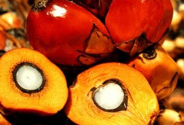 Cultivo aceite de palma Colombia