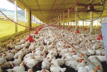 Granjas avícolas Colombia