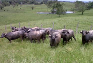 Liquidación Bufalera El Remanso, Alejandro Garcés, juez nacional e internacional de búfalos, Ganadería Bufalina en Colombia, liquidación bufalera el remanso, Búfalos en Colombia, Razas de búfalos en Colombia, Historia de los búfalos en Colombia, Subacauca, Subasta ganadera Caucasia, raza Murrah en Colombia, alta producción lechera de búfalos, producción búfalos Colombia, carne búfalo, coronavirus, coronavirus Colombia, COVID-19, cuarentena, Ganadería, ganadería colombia, noticias ganaderas, noticias ganader