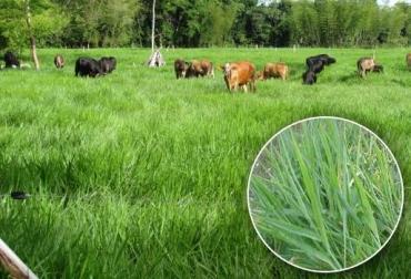 brachiaria humidícola para bovinos