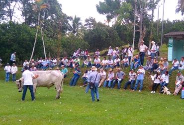 cruce de ganado criollo y cebuino
