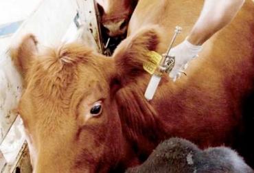 vacunar ganado